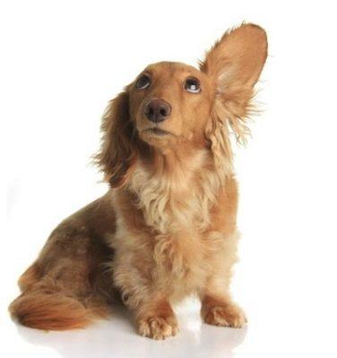 Βαρηκοΐα στους σκύλους Συστήματα Ακοής